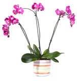 Orchid potted flowers Stock Photos