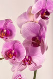 Orchid 2 Royalty Free Stock Photo
