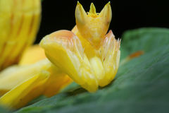 Orchid Preying Mantis in Thailand. Yellow Orchid Preying Mantis in Thailand and Southeast Asia Stock Photo