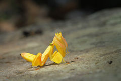 Orchid Preying Mantis in Thailand. Yellow Orchid Preying Mantis in Thailand and Southeast Asia Stock Photos