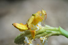 Orchid Preying Mantis in Thailand. Yellow Orchid Preying Mantis in Thailand and Southeast Asia Royalty Free Stock Photography