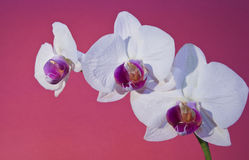 Orchid on purple Royalty Free Stock Images