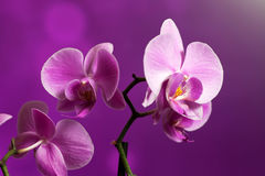 Orchid on purple. Beautiful orchid on a purple backgorund. Photo beautiful flower Royalty Free Stock Photo