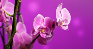 Orchid on purple Royalty Free Stock Image