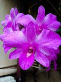 Orchid. Purple orchid bloom Stock Photo