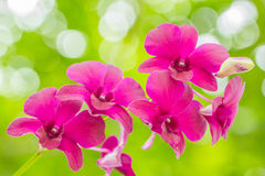 Orchid. Purple orchid blooming on the background bokeh Royalty Free Stock Images