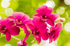 Orchid. Purple orchid blooming on the background bokeh Royalty Free Stock Image