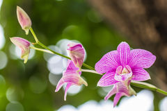 Orchid. Purple orchid blooming on a white background bokeh Stock Photo