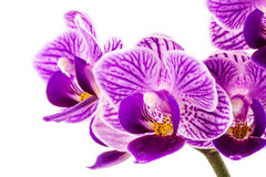 Orchid purple Stock Photos