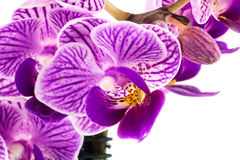 Orchid purple Royalty Free Stock Photography