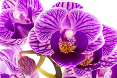 Orchid purple Royalty Free Stock Photo