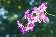 Orchid purple color Thai species  with background. Orchid purple color Thai species on isolated background Stock Images