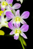 Orchid purple color Thai species Royalty Free Stock Photography