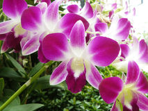 Orchid. Purple Dendrobium sonia. Beautiful orchid. Purple Dendrobium sonia & x28;Orchidaceae& x29; close up from plant stock photo
