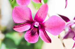 Orchid. Purple orchid flowers in the garden Stock Photography