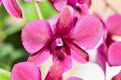 Orchid. Purple orchid flowers in the garden Royalty Free Stock Image