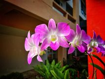Orchid. Purple orchid flower Royalty Free Stock Photo
