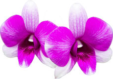 Orchid, purple orchid Stock Images