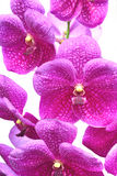 Orchid purple Stock Photos
