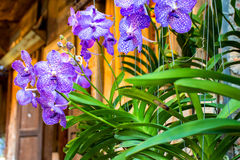 Orchid, purple and white. Beautiful Stock Image