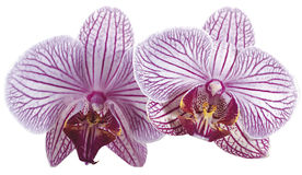 Orchid. Purple and white color Stock Photos