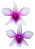 Orchid purple white Stock Photo