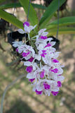 Orchid. Purple and white orchids in  Thailand Royalty Free Stock Images