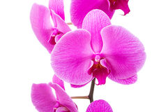 Orchid radiant flower Royalty Free Stock Image