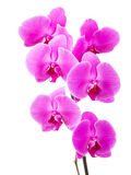 Orchid radiant flower Royalty Free Stock Photography