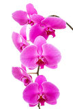 Orchid radiant flower isolated Stock Photo