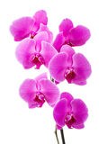 Orchid radiant flower Royalty Free Stock Photos