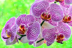 Orchid. With rainer drops and green leafs background Stock Image
