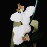Orchid realistic vector illustration Royalty Free Stock Photo
