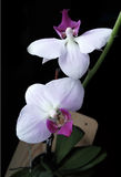 Orchid realistic vector illustration Royalty Free Stock Image