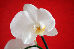 Orchid on the red background. Orchid flower on the red background Stock Image