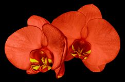 Orchid red flower isolated on black background with clipping path. Closeup. Red phalaenopsis flower with red-yellow lip. Nature royalty free stock photography