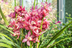 Orchid red speckled The name of The flower due to similarity of Royalty Free Stock Image