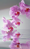 Orchid with reflection. Pink orchid with waters drops with water flood reflection Stock Photography