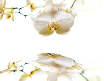 Orchid with reflection. Royalty Free Stock Images