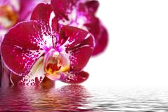 Orchid and reflection on white background Stock Photo