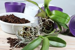 Orchid replanting,  lat. Phalaenopsis Cascade Royalty Free Stock Photography