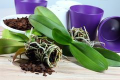 Orchid replanting Royalty Free Stock Photos