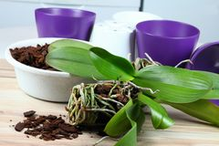 Orchid replanting Stock Images