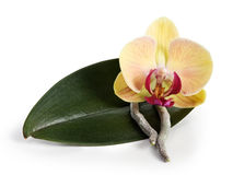 Orchid resting Stock Photos