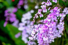 Orchid or Rhynchostylis gigantea Royalty Free Stock Images