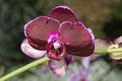 Phalaenopsis Brother Super Nova Orchid stock photography