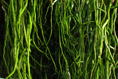 Orchid root. Plenty of green root of orchid Stock Photos