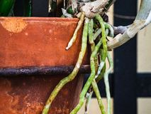 Roots growing outside terra cotta pot. Orchid roots branching on a flower pot royalty free stock photography