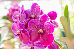 orchid rosa vanda Fotografering för Bildbyråer