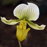 γυναικείο orchid s παντόφλα Στοκ φωτογραφίες με δικαίωμα ελεύθερης χρήσης